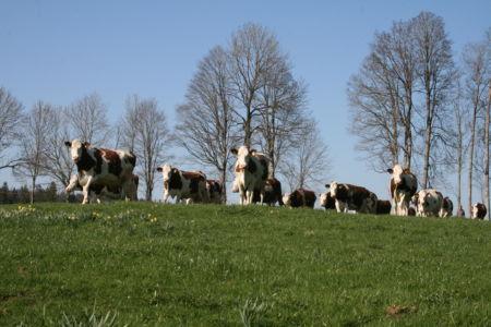 Vaches aux Cufattes